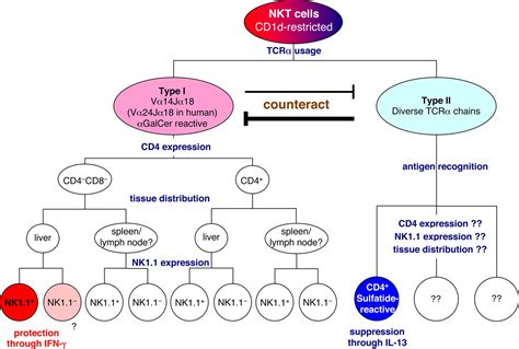 NKT Cells in Tumor Immunity: Opposing Subsets Define a New Immunoregulatory Axis | The Journal