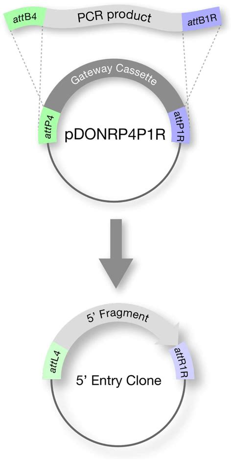 Transgenic solutions for the germline